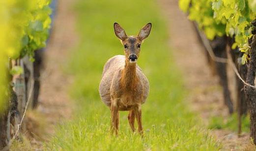 翡馬葡萄園中的小鹿