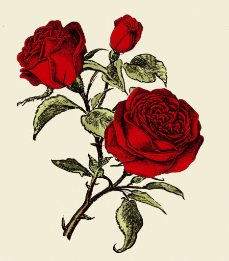 Hendrick's Rose Petals Illustration